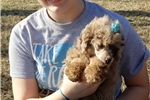CH Sired - Red Merle - Beautiful Poodle | Puppy at 17 weeks of age for sale
