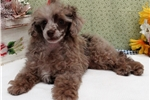 Picture of CH Sired - Red Merle - Beautiful Poodle