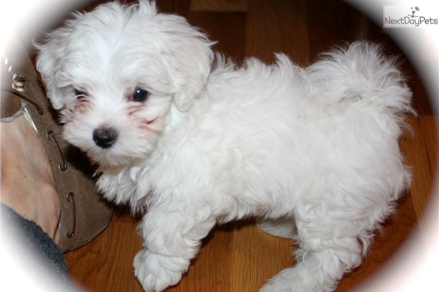 pogo  maltese puppy for sale near manhattan  kansas
