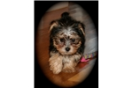 Picture of Ruby: Adorable Morkie female