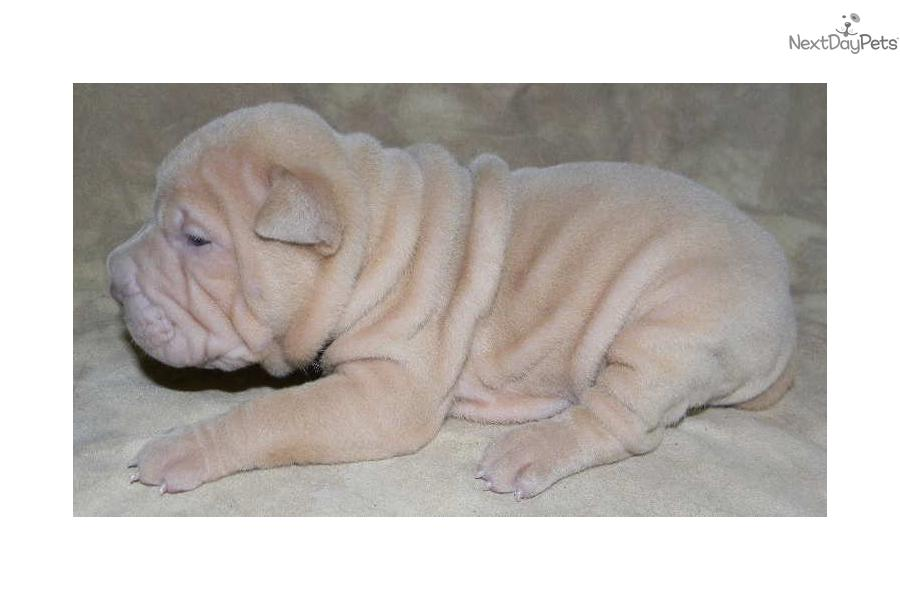 download shar pei puppies - photo #19