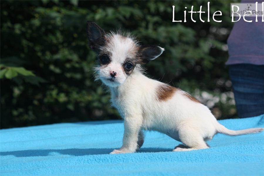 Chihuahua For Sale In Jackson Tn | Dog Breeds Picture