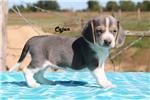 Picture of Blue Cajun Rare Blue Silver Tri Boy Ready soon