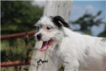 Picture of Shots done Pepsi White BLUE MERLE Great with kids