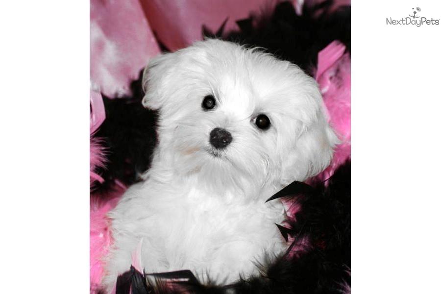 Maltese for sale for $650, near Jackson, Mississippi. 06246493-7481