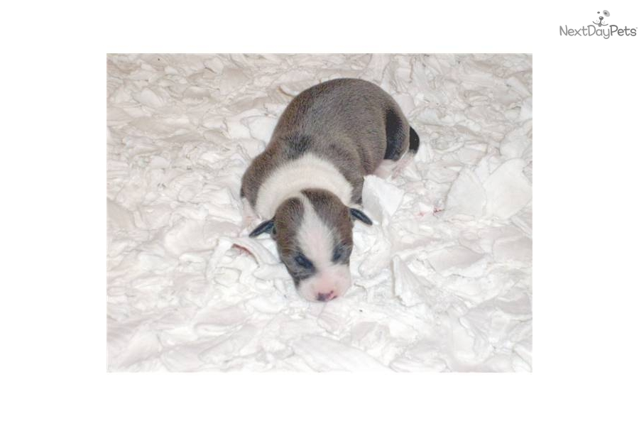 Band Dog Puppies For Sale