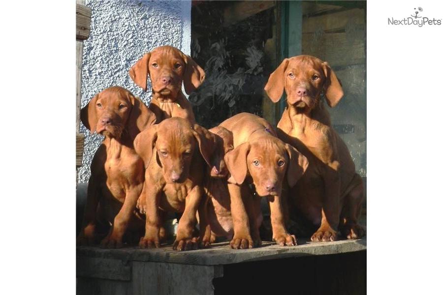 Average cost of a vizsla puppy hungarian vizsla forums html autos weblog