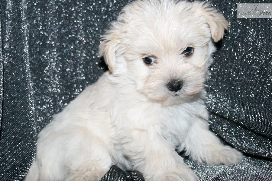 Maltipoo Puppies For Sale | 2017 - 2018 Best Cars Reviews