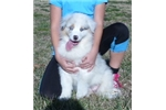 Picture of AKC Blue Merle female with blue eyes