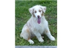 Picture of Cute Red Merle Aussie Female, AKC