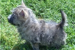 Picture of AKC Cairn Terrier male, personality plus