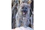 Picture of Spunky Cairn female puppy, AKC