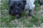 Picture of NIce Cairn adult male needs new home