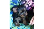 Picture of Fantastic Yorkie male