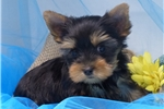 Picture of AKC male Yorkie, very cute, very small