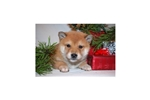 Picture of a Shiba Inu Puppy