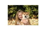 Featured Breeder of Shiba Inus with Puppies For Sale