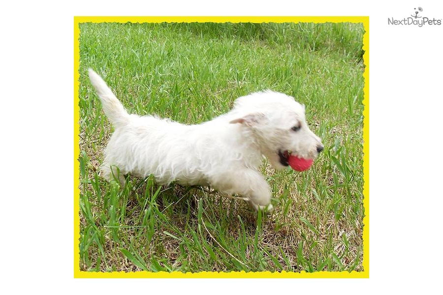 The gallery for --> Scoland Terrier Puppies