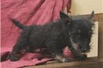 Picture of AKC Black Brindle Scottie Male - (402) 893-4401