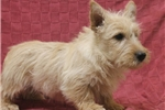 Picture of AKC Red Wheaten Scottie Male - (402) 893-4401