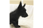 West Highland White Terrier - Westie for sale