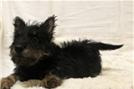 Picture of AKC Black Brdl Scottie Girl -WE SHIP-(402) 893-440