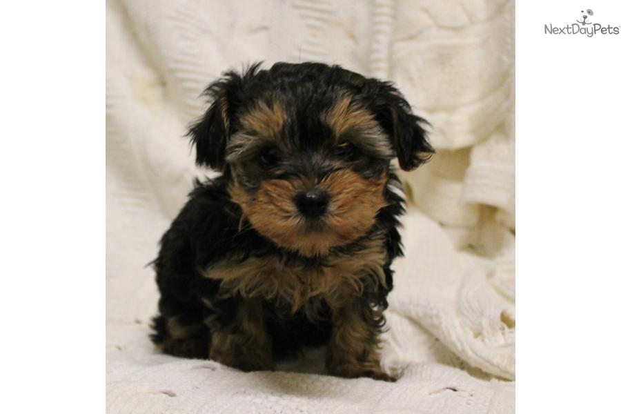 Yorkie Poo Puppies Haircuts