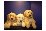 Featured Breeder of Goldendoodles with Puppies For Sale