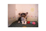 Picture of a Pembroke Welsh Corgi Puppy