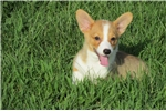 Welsh Corgi, Pembroke for sale