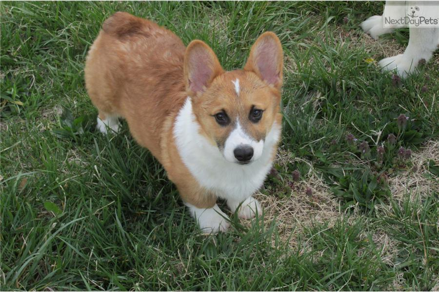Cardigan Welsh Corgi Puppies For Sale In California 21