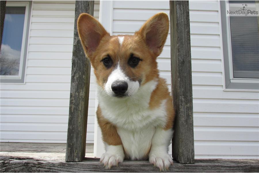 Meet Corky a cute Welsh Corgi, Pembroke puppy for sale for ...