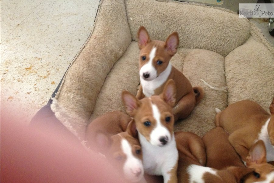 Meet Girlie A Cute Basenji Puppy For Sale For 1 200 A