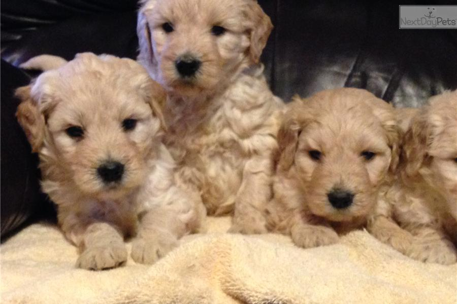 Meet puppies a cute goldendoodle puppy for sale for 1 095 christmas