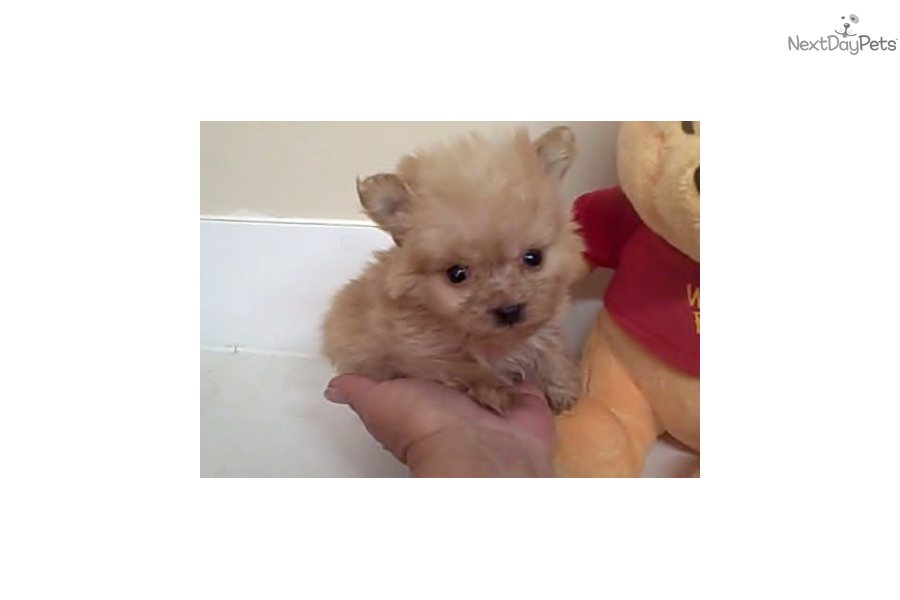 Poma-Poo - Pomapoo puppy for sale near Springfield ...