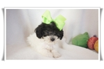 Picture of BINGO... an adorable and cute little Maltipoo
