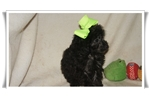 Picture of Bam Bam is the most mellow loving little poodle.