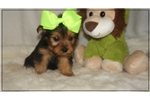 Picture of Little Bailey is an adorable Yorkie Poo