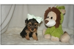 Picture of Milo is a quiet little Yorkie-Poo.