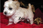 Picture of Meet Zoe, the Bolognese