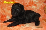 Picture of a Bolognese Puppy