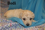 Picture of Meet Bodi, the Bolonoodle