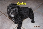 Picture of Meet Cookie, the BoloNoodle