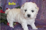 Picture of Meet Bella, the Bolognese