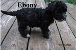 Picture of Meet  Ebony the BoloNoodle