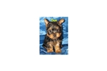 Picture of a Silky Terrier Puppy
