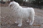 Picture of Meet Snow the Great Pyrenees