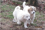 Picture of Meet 976 the Great Pyrenees