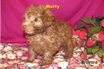 Picture of Meet Matty, the Toy Poodle