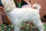 Picture of Beautiful CH. Lines Male Maltese Puppy